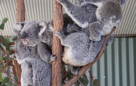 The Koala Crisis in Australia